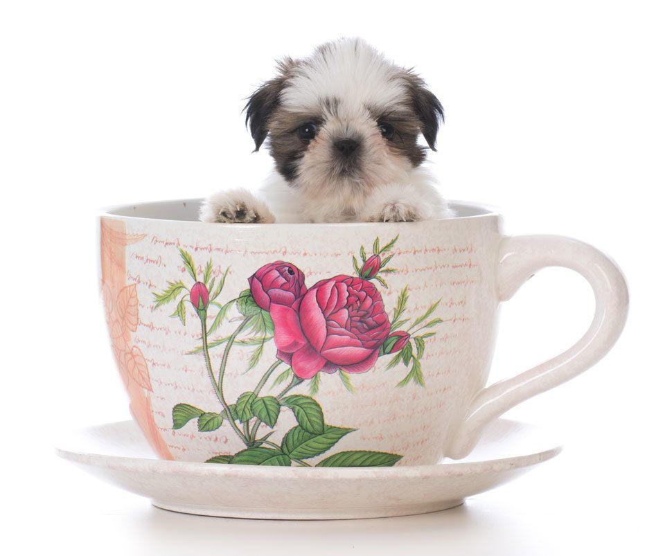 Teacup-Puppies