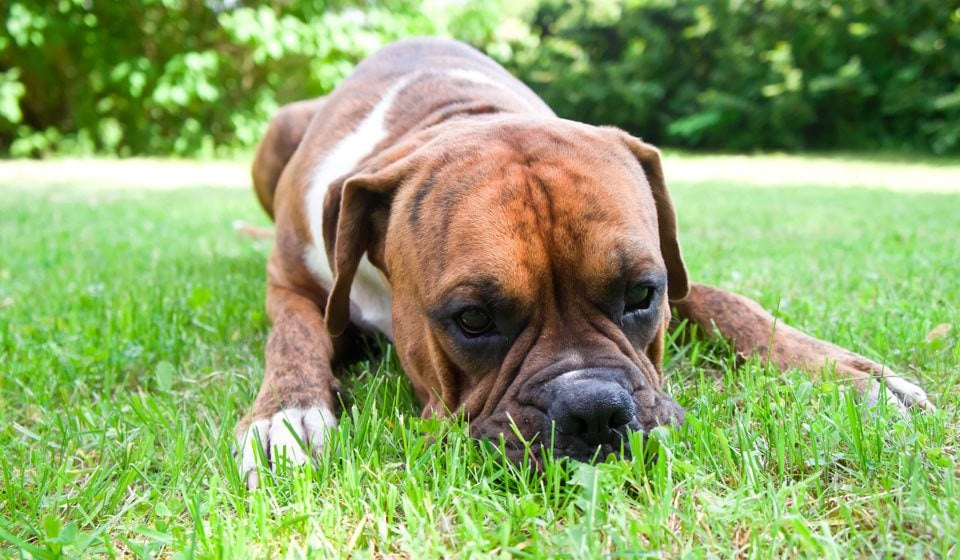The-Boxer-Dog-Breed