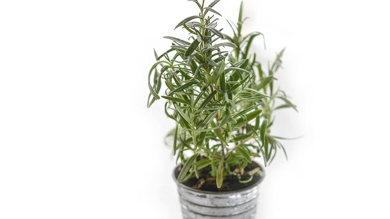 Thyme safe herbs for dogs