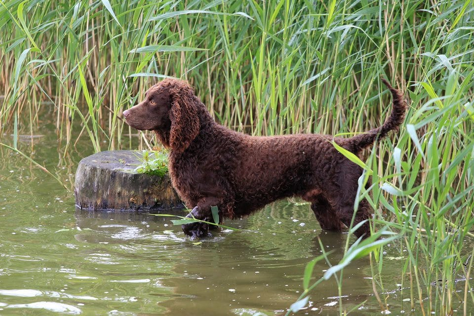 Types-of-spaniel-American-Water-Spaniel