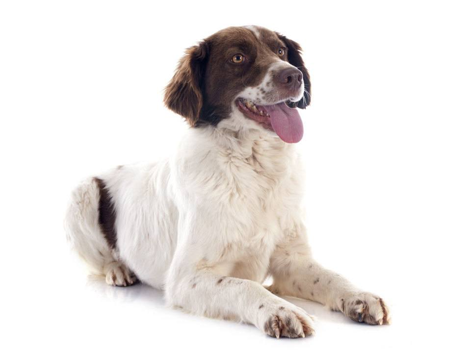Types-of-Spaniel-French-Spaniel