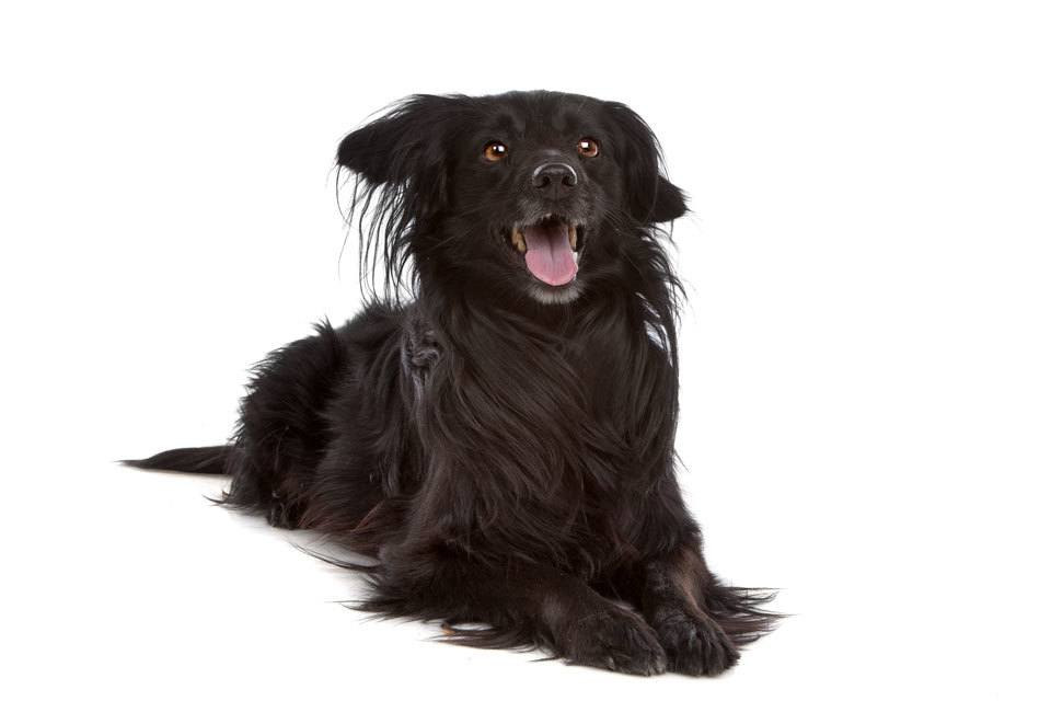 Types-of-Spaniel-Markies-Or-Dutch-Tulip-Hound