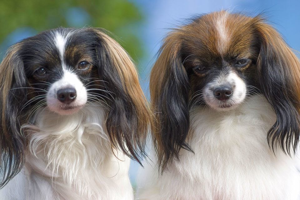 Types-of-Spaniel-Phalene