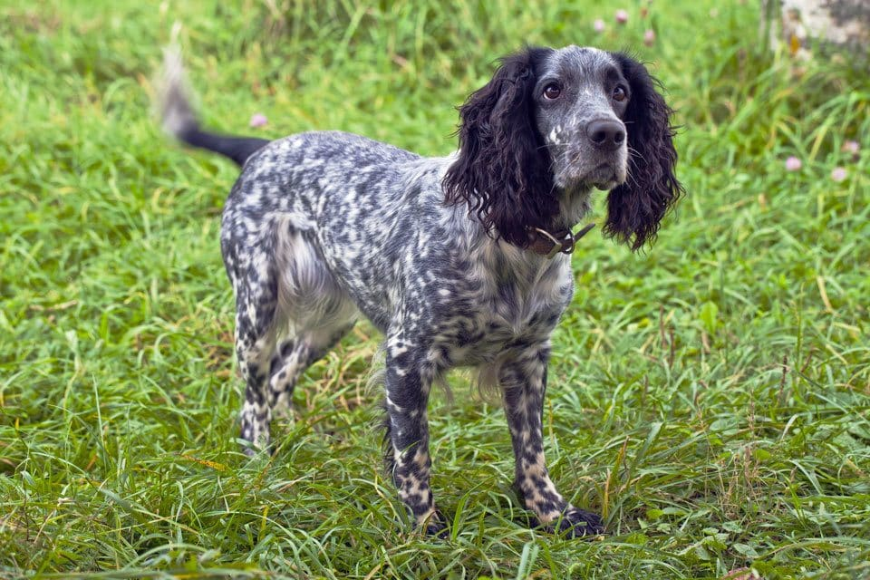 Types-of-Spaniel-Russian-Spaniel