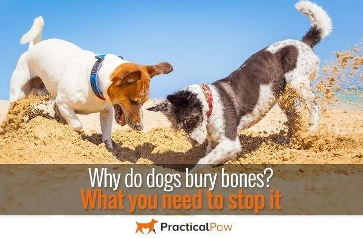 Why do dogs bury bones? Do you need to stop it? - PracticalPaw.com