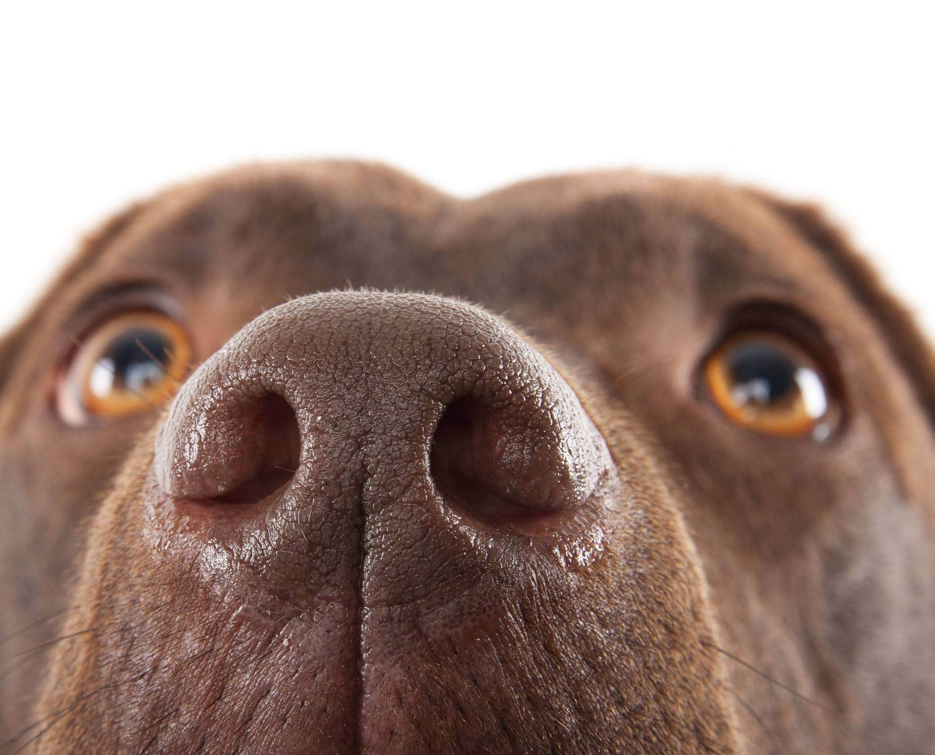 Why is a dogs nose wet