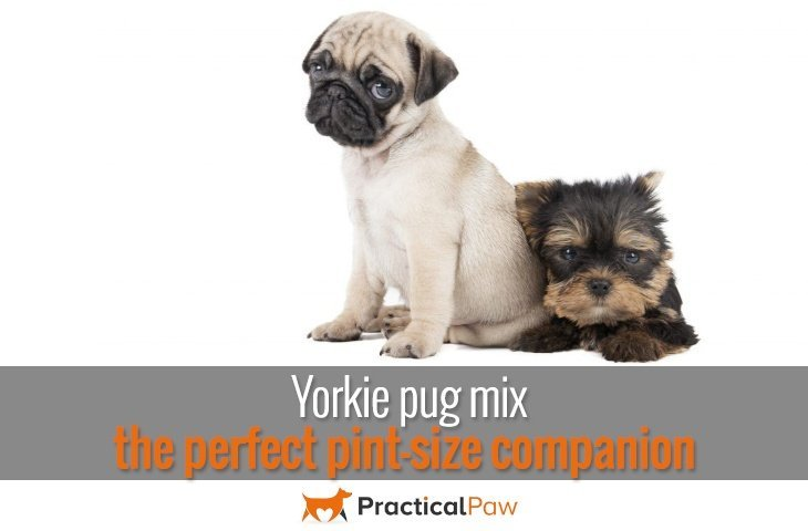 yorkie mix with pug yorkie pug mix the perfect pint size companion 4210