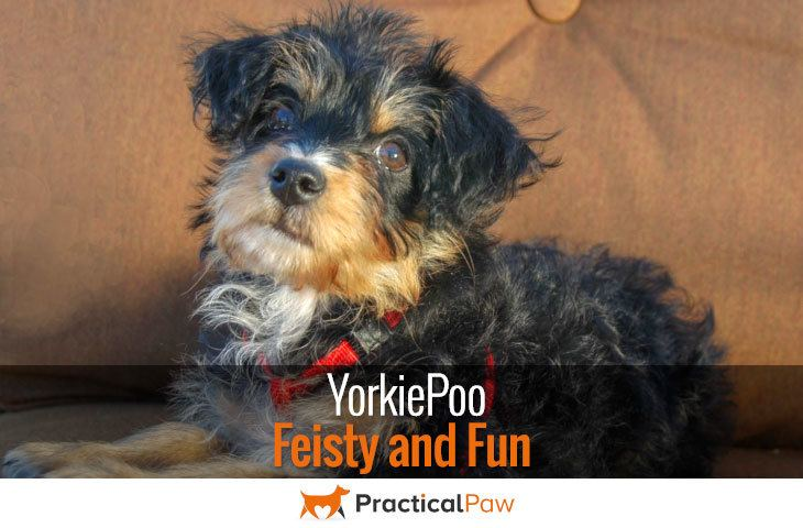 YorkiePoo - feisty and fun