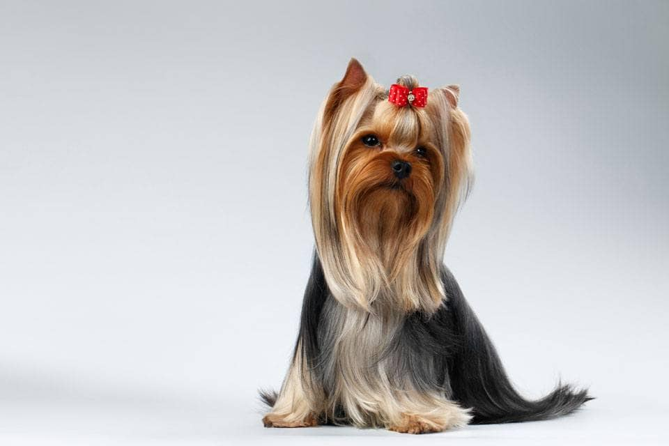 best dog shampoo for yorkies