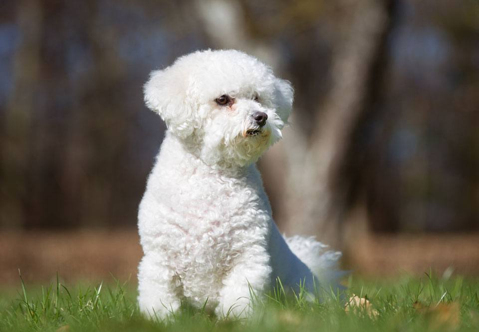 bichon frise for elderly owners