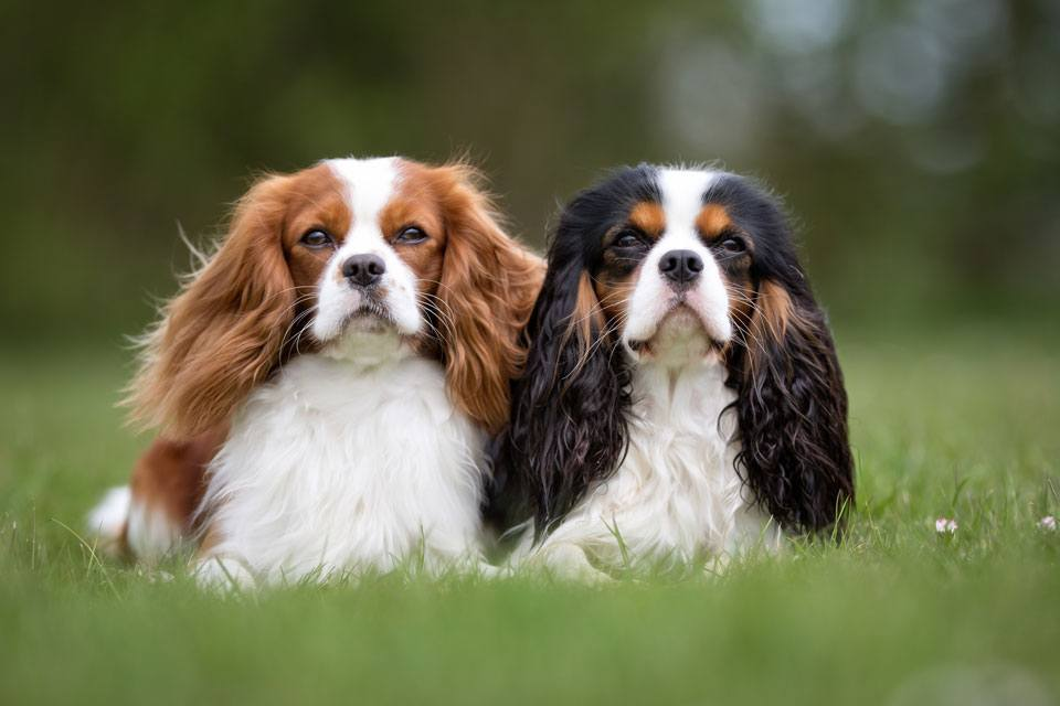 king charles cavaliers for elderly owners