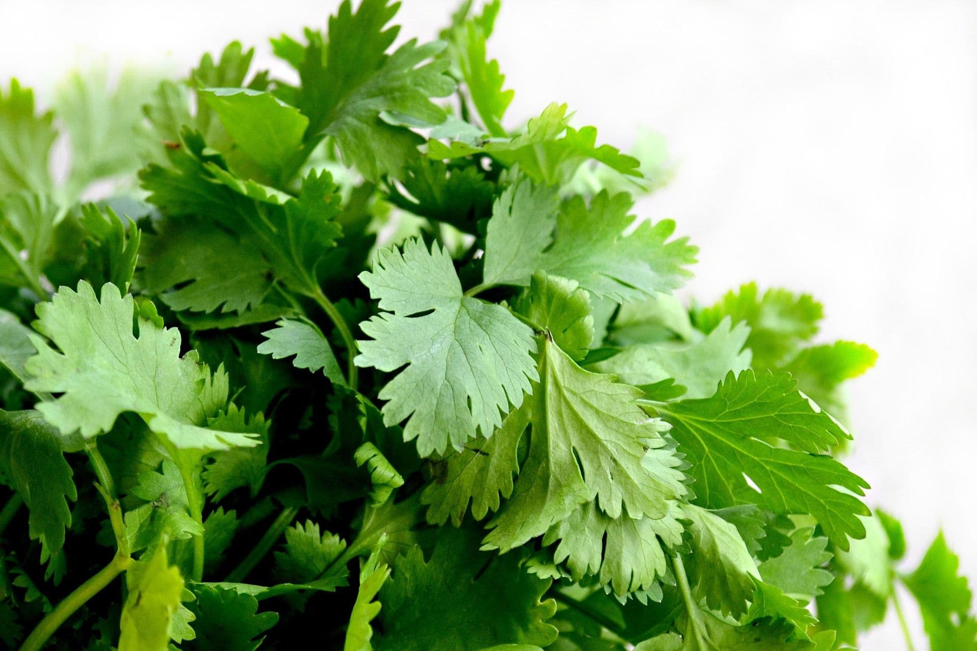 cilantro safe herbs for dogs