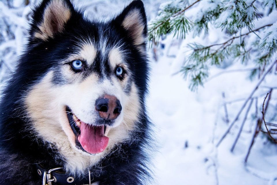 do-dogs-have-night-vision-blue-eyes