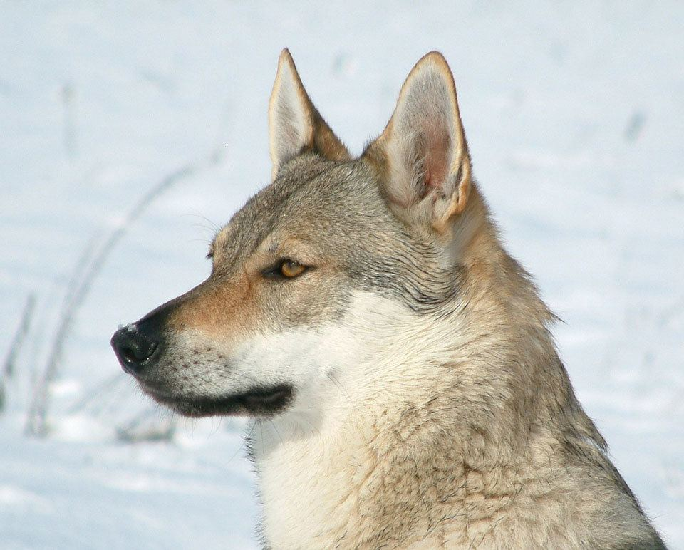 dog-breeds-that-look-like-wolves-czechoslovakian-wolfdog