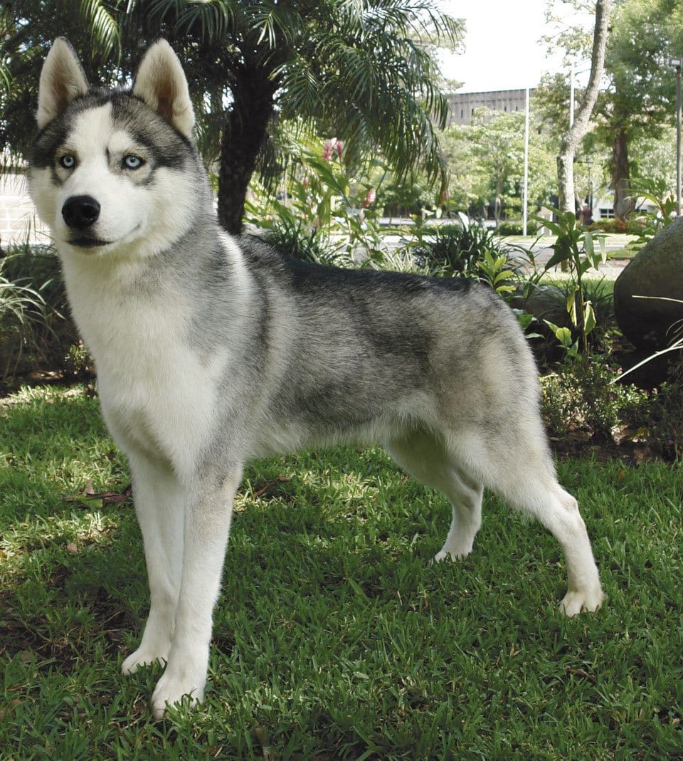 dog-breeds-that-look-like-wolves-husky