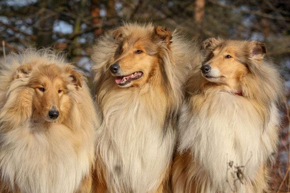 dog-ear-types-semi-erect