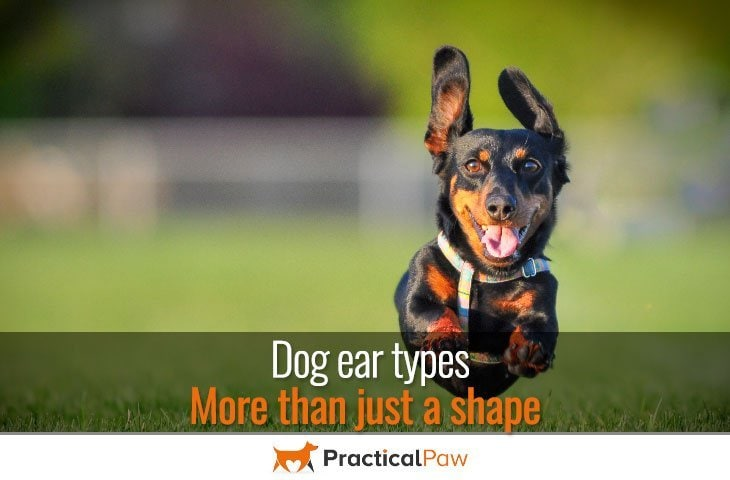 Dog Ear Types More Than Just A Shape Practical Paw The Dog
