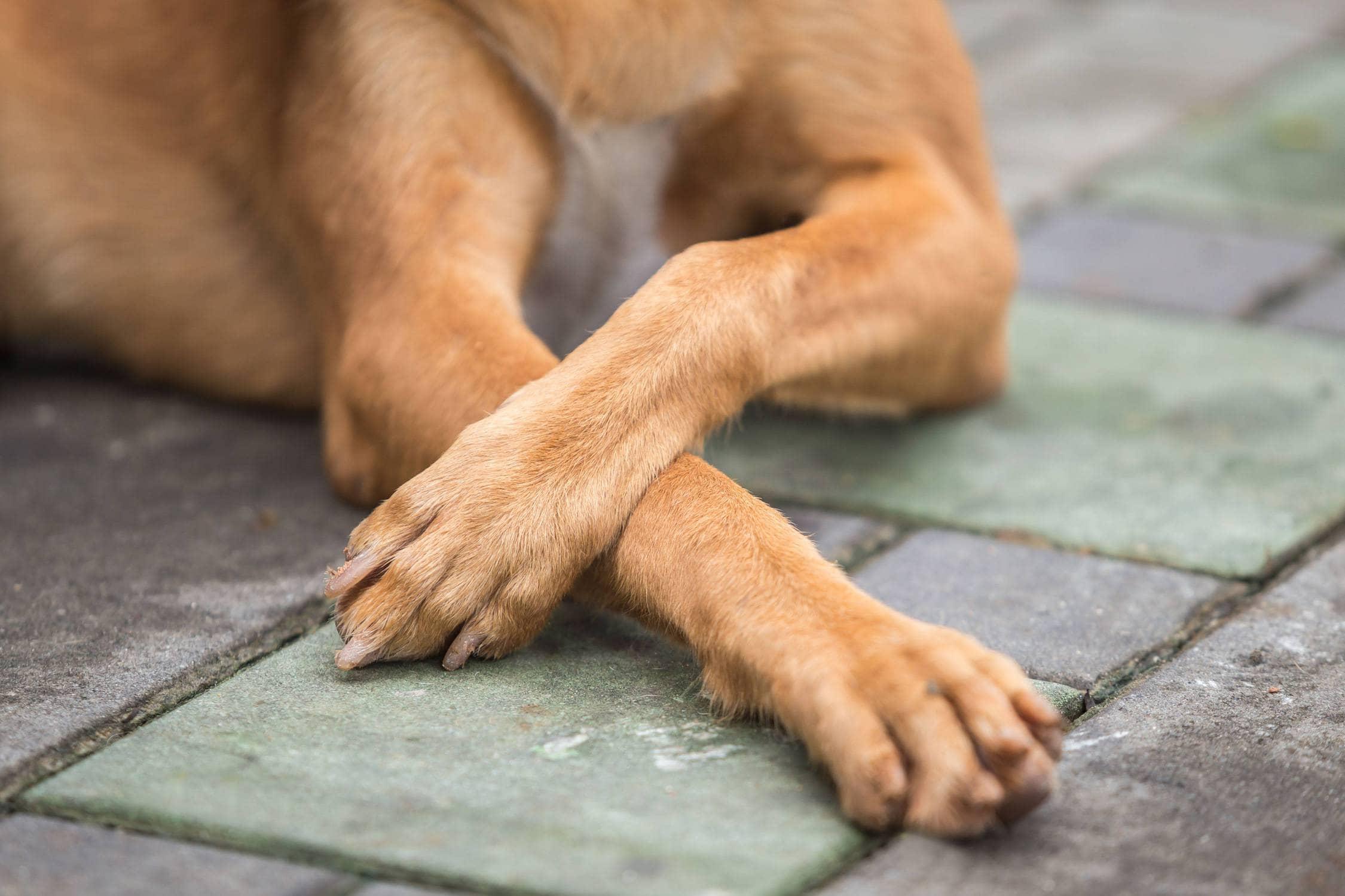 Dog elbow calluses