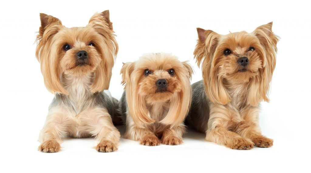 dog shampoo for yorkies
