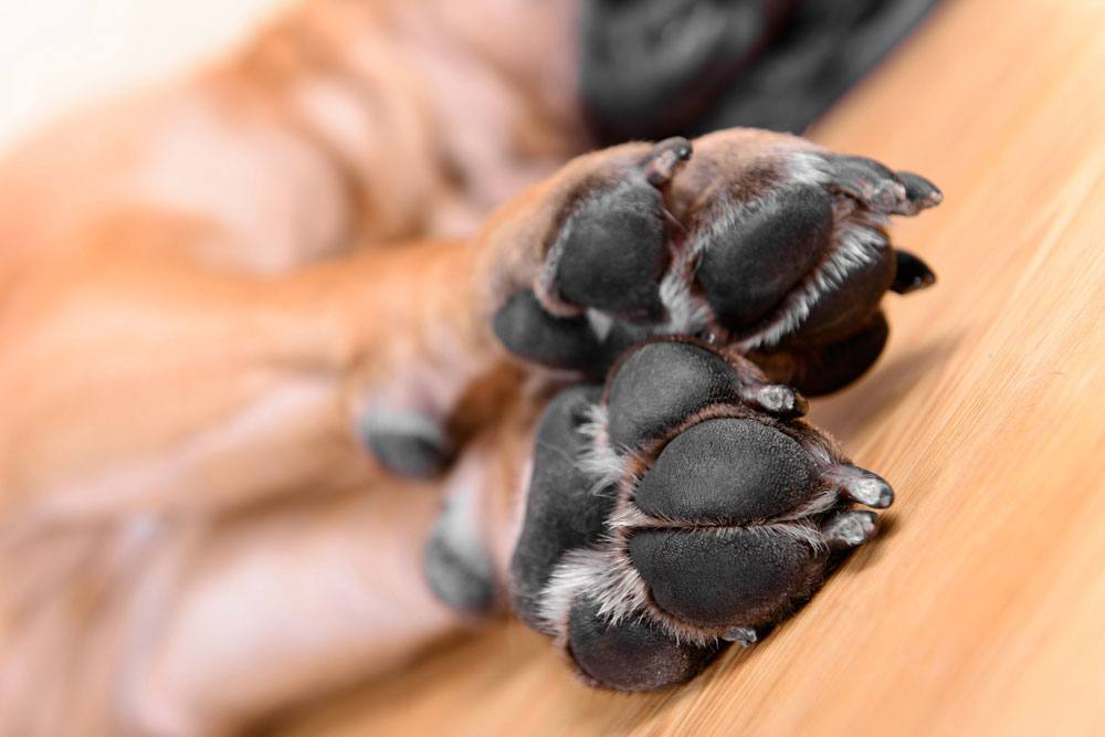 facts about dog paw pads