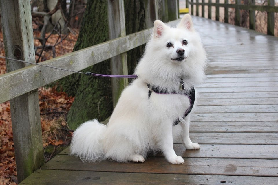 fluffy-dog-breeds-American-eskimo-dog