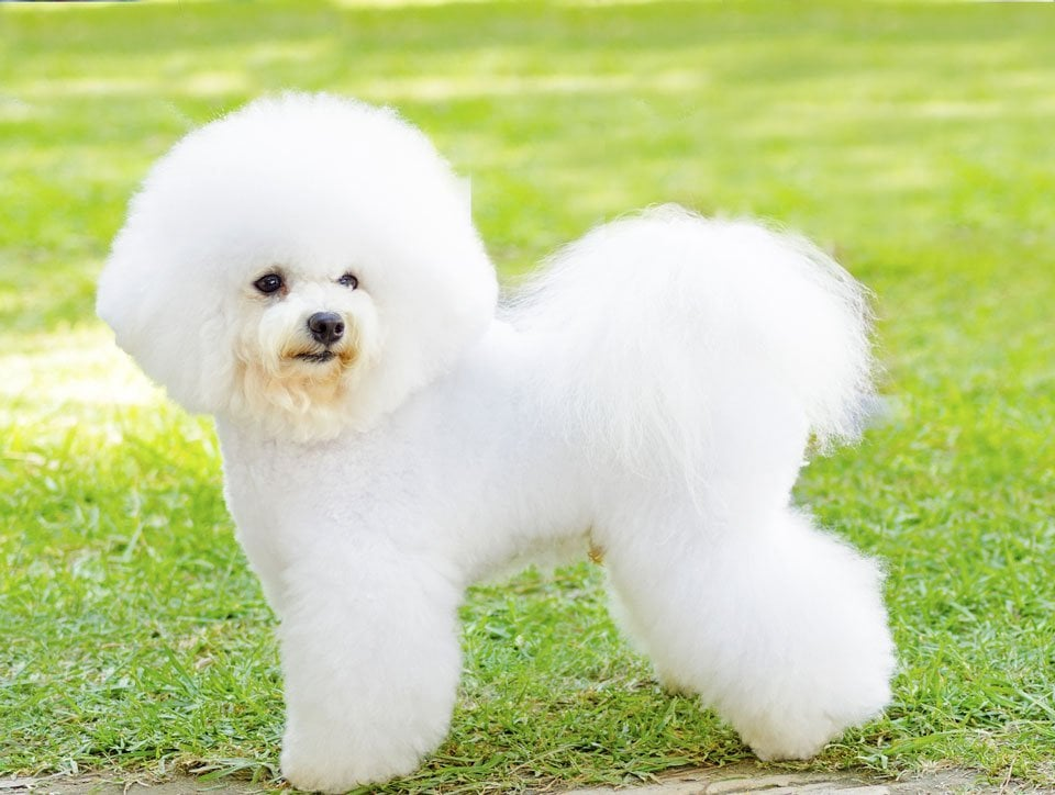 fluffy-dog-breeds-Bichon-Frise