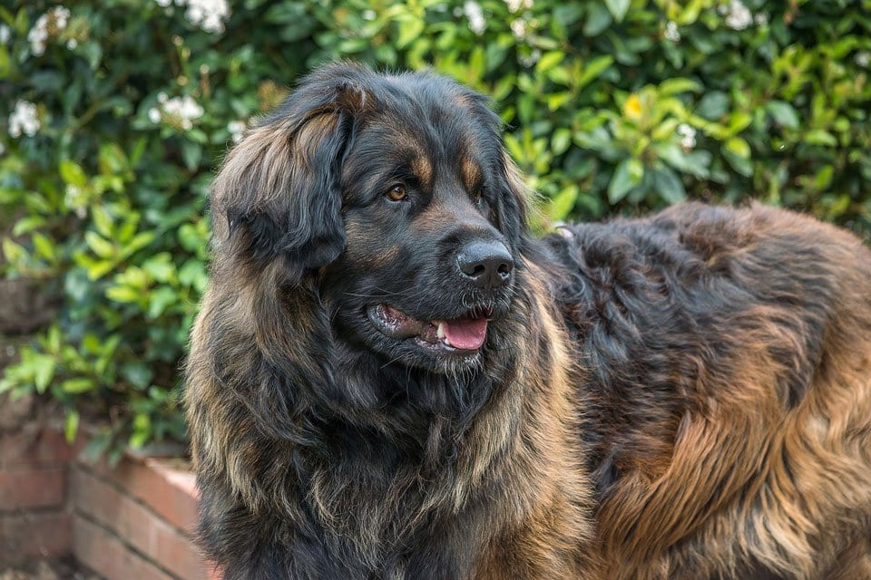 fluffy-dog-breeds-Leonberger