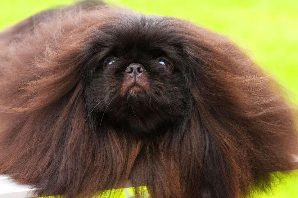 fluffy-dog-breeds-Pekingese