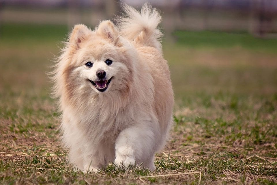 fluffy-dog-breeds-Pomeranian