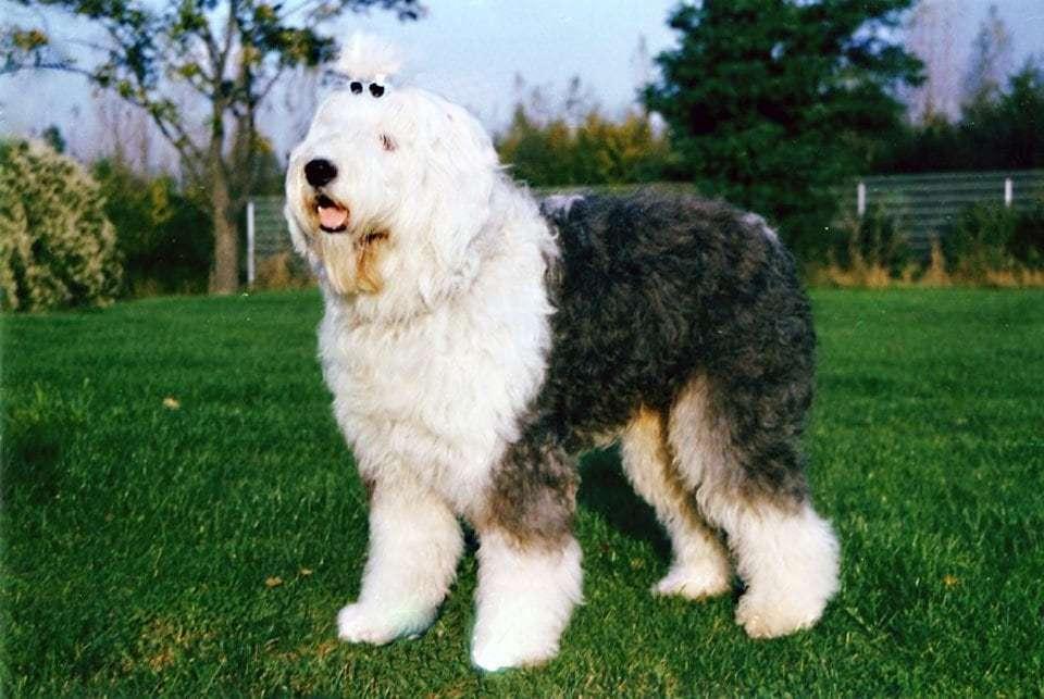 fluffy-dog-breeds-bobtail
