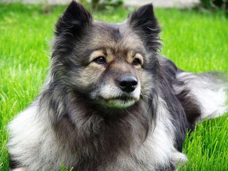 fluffy-dog-breeds-keeshond