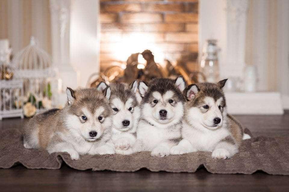 fluffy-dog-breeds-malamute