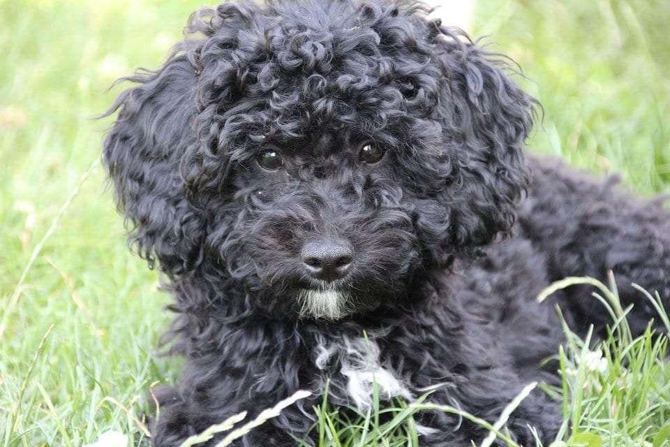 fluffy-dog-breeds-poodle