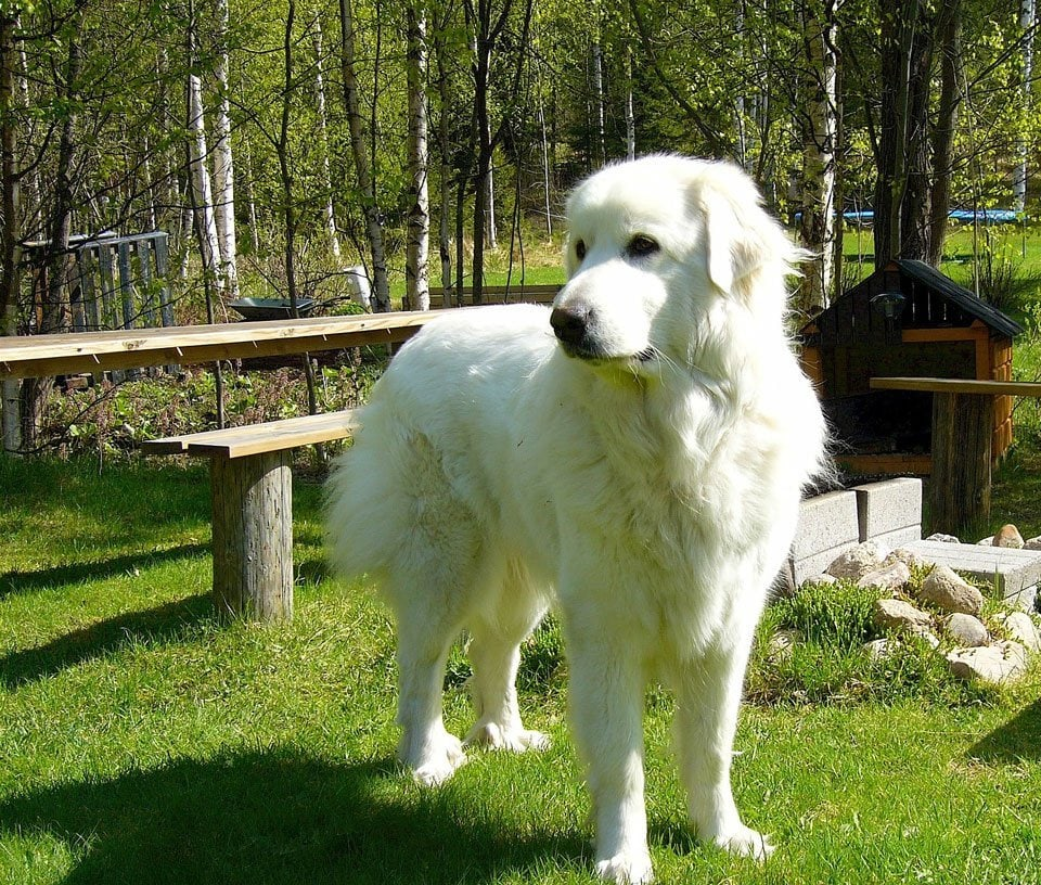 fluffy-dog-breeds-pyrenean-mountain-dog