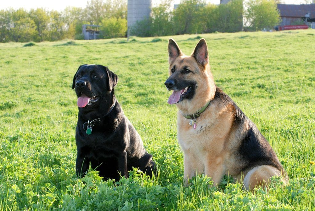 1 Year Male German Shepherd Dog Cross Labrador: German Shepherd Lab Mix; Dedicated, Energetic And Loyal