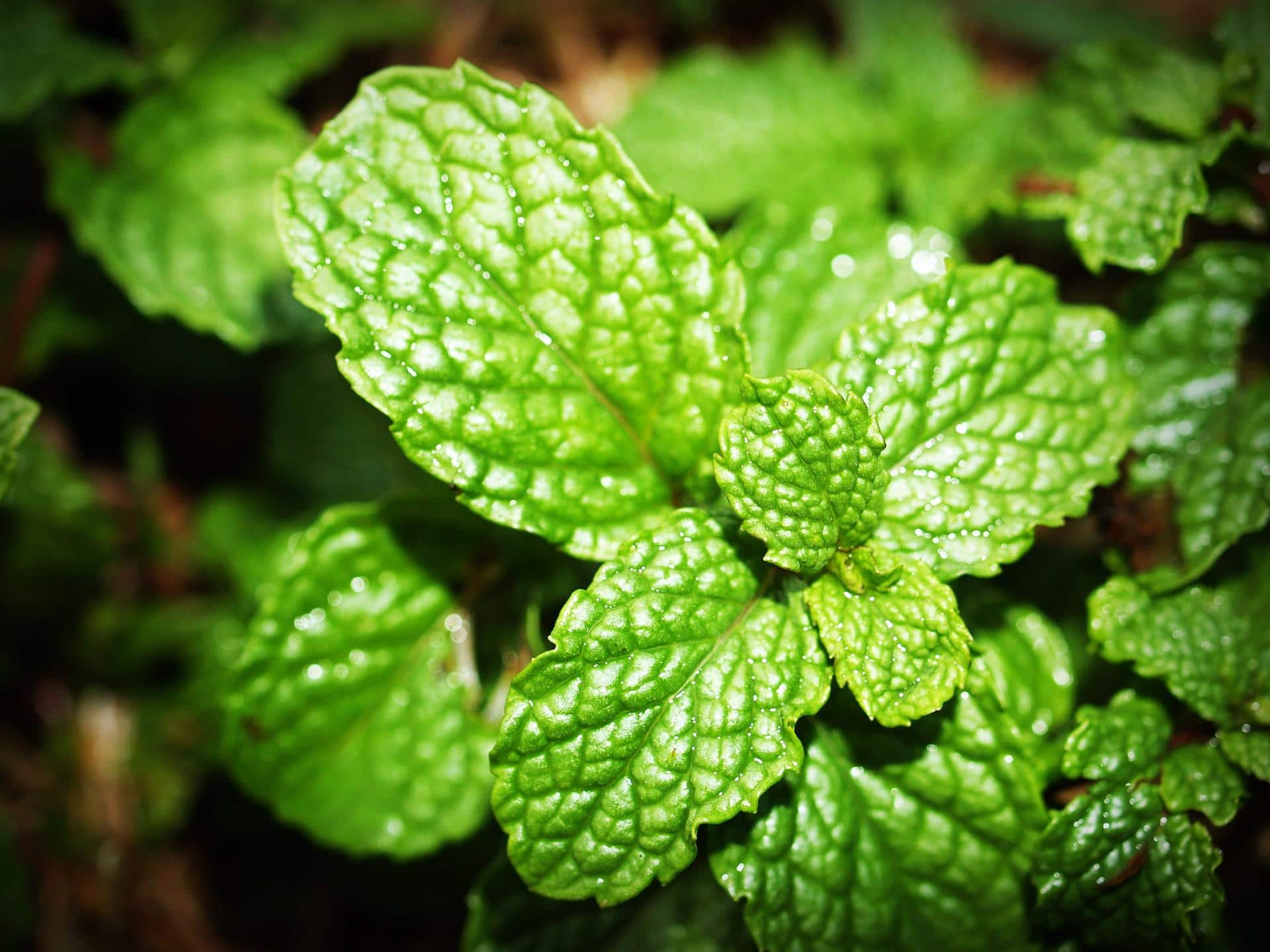 mint safe herbs for dogs