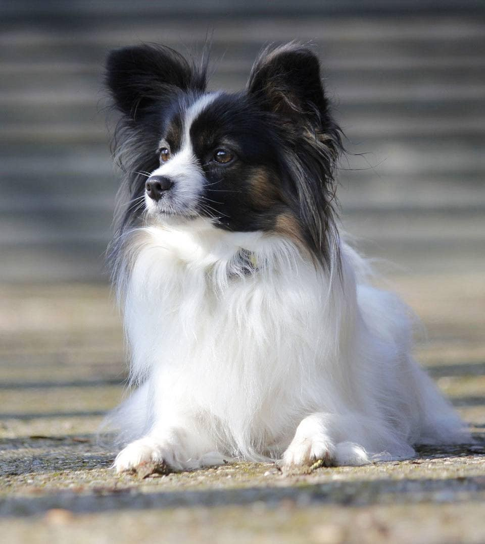 Types of Spaniel Papillon