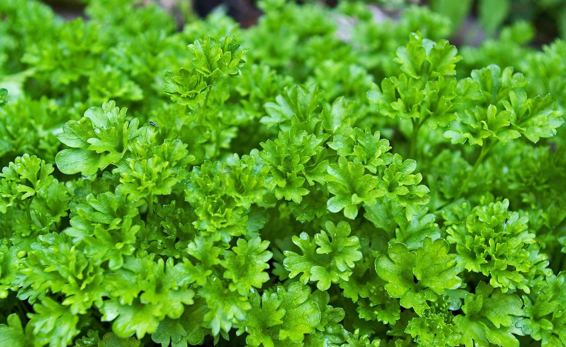parsley safe herbs for dogs