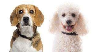 beagle poodle mix.. It's a poogle!