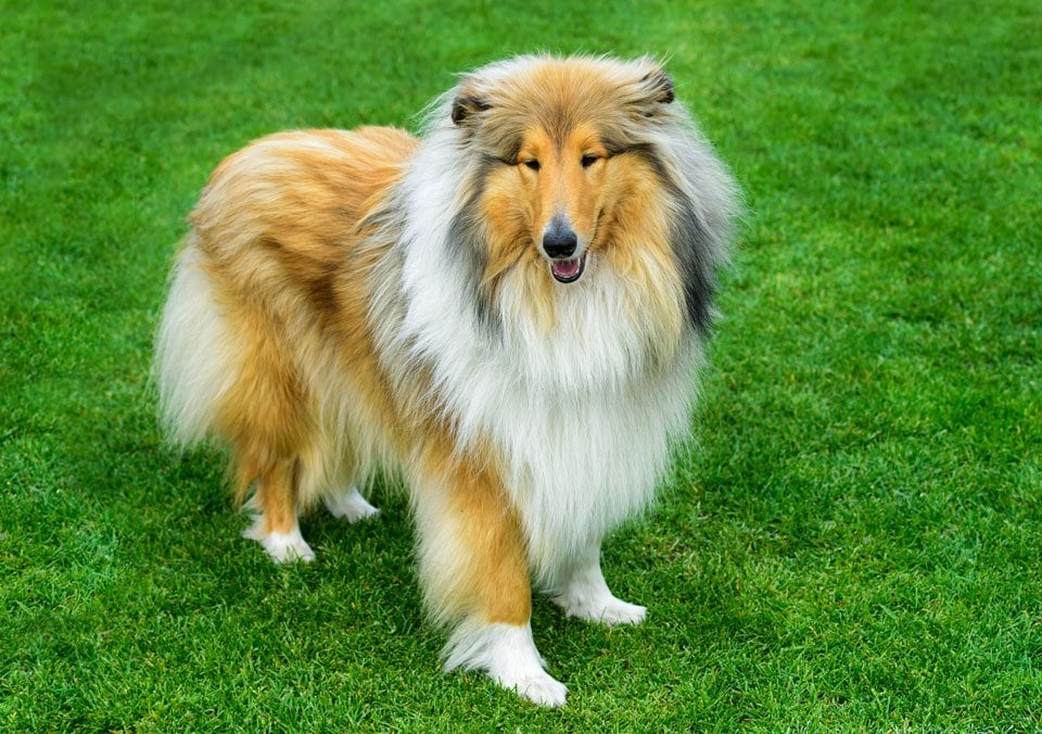 Long Haired Dog Breeds 7 Stunning Hairy Hounds Practical Paw