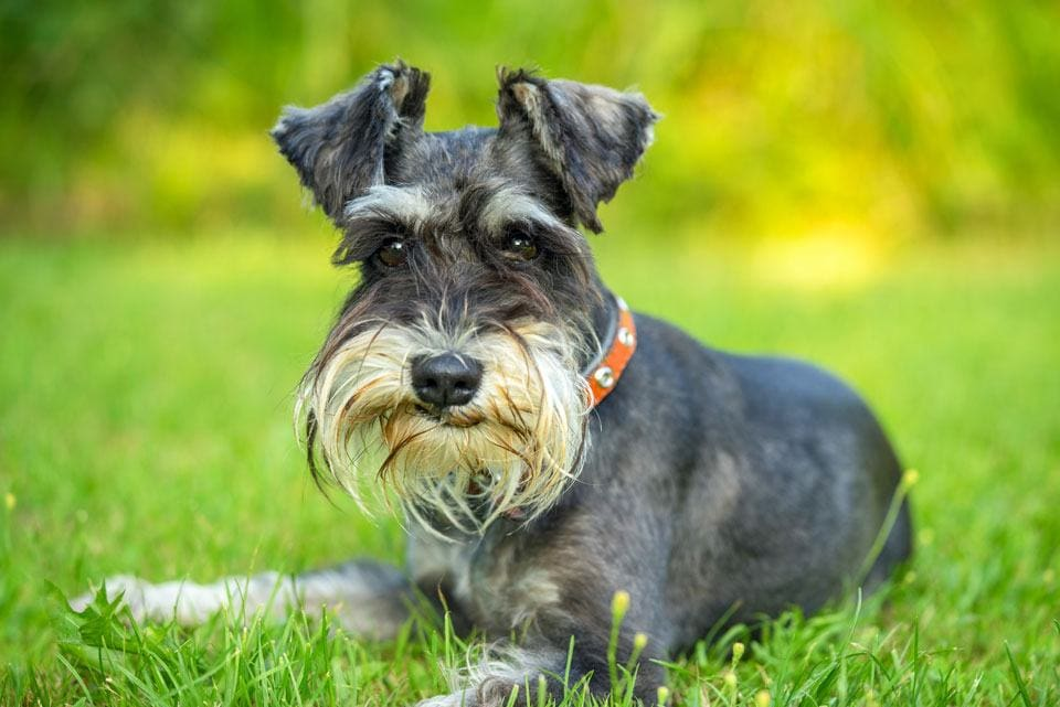 schnauzers for elderly owners