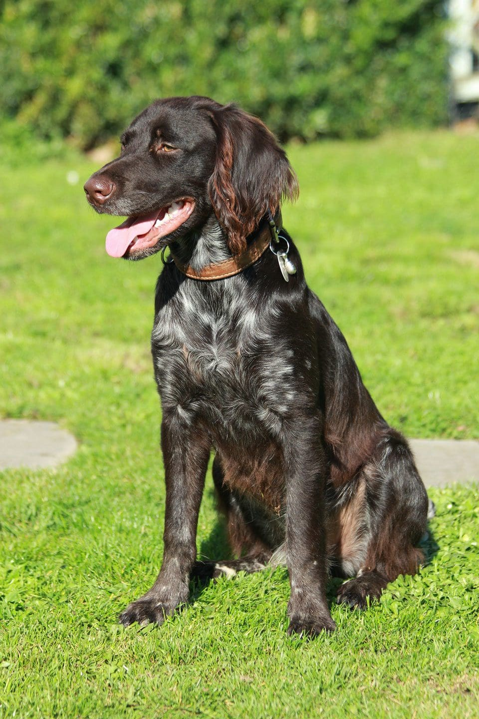 Types of Spaniel small-munsterlander