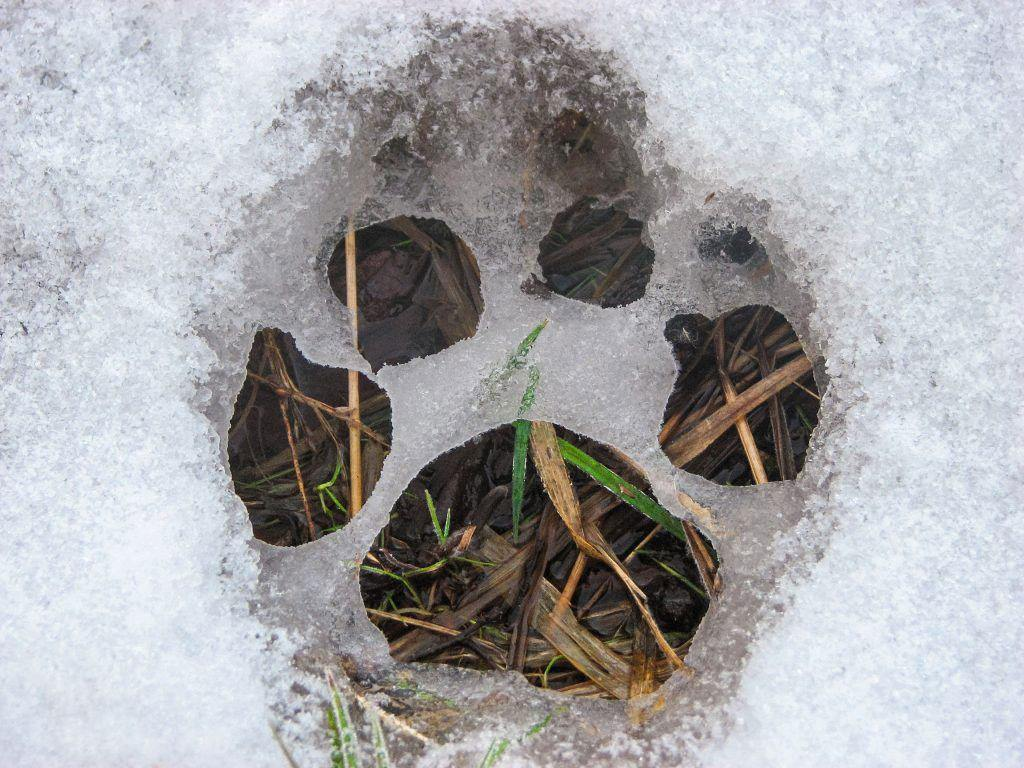 snow - facts about dog paws