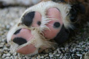 tricolour facts about dog paws