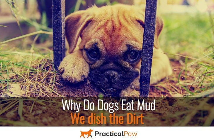 Why do dogs eat mud