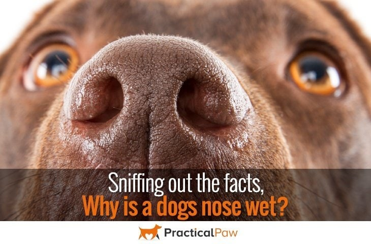 why is a dogs nose wet?