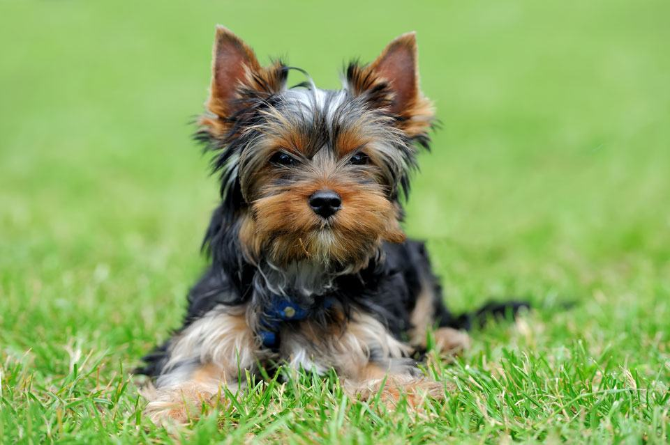 yorkshire terriers for elderly owners